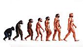 Stages in human evolution,illustration