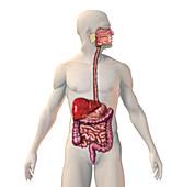 Cirrhosis of the Liver,illustration