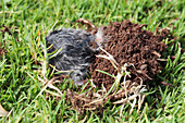 Common mole-rat burrowing