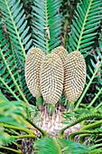 Cycad (Encephalartos altensteinii)