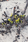 Shoots growing after wildfire