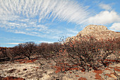Scorched protea plants after wildfire
