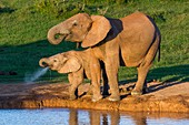 African Elephant and calf drinking