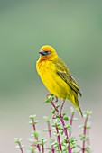 Male Cape Weaver