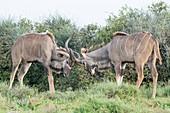 Sparring Kudu bulls
