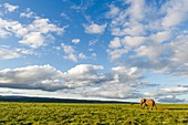 African Elephant in open grasslands