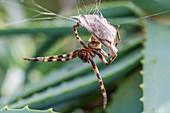 Female rain spider guarding her nest