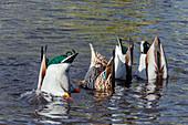 Mallard ducks upending and feeding