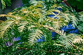 Dawn redwood (M. glyptostroboides)
