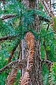 Chinese fir (Cunninghamia lanceolata)