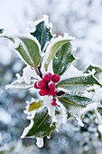 Hoare frost on holly berries