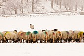 Sheep eating winter feed