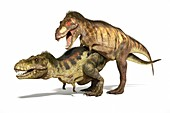 Tyrannosaurs mating,illustration