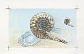 Goniatite ammonites,illustration