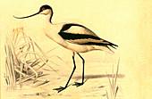 Pied avocet,19th Century illustration