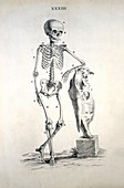 Human skeleton,18th century