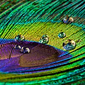 Water droplets on peacock feather