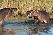 Hippopotamus confrontation