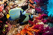 Emperor angelfish on a reef
