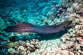 Giant moray eel hunting on a reef