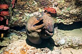 Soldierfish and giant morays on a reef