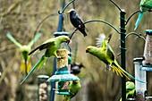 Ring-necked parakeets,UK