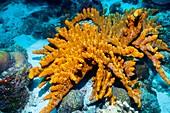 Brown tube sponge on a reef
