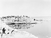 Adelie penguins in Antarctica,1912