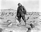 Penguins and Antarctic explorer,1911