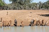A herd of Nyala drinking at a waterhole