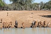 A herd of Nyala drinking at a waterhole