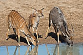 Female,fawn and male Nyala drinking