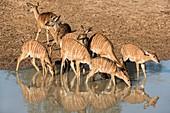 Nyala females drinking at a watering hole