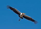 Yellow-billed stork in flight