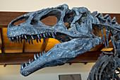 Allosaurus dinosaur fossil display