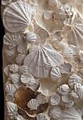 Fossil Pecten shells