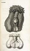 Hermaphrodite sex organs,18th century