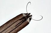 Mosquito larva,light micrograph