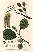 Common alder tree,illustration