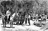 19th Century coffee harvest,Brazil
