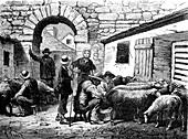 19th Century sheep farming,illustration