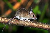 Juvenile wood mouse