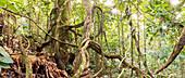 Rainforest lianas,Ecuador