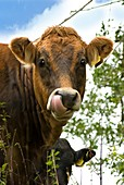 Cow licking its nose