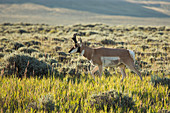Male pronghorn