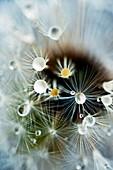 Water drops on dandelion seed head