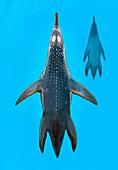 Polycotylus marine dinosaur,illustration