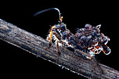Assassin bug with dead ants
