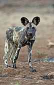 African Hunting Dog Pup
