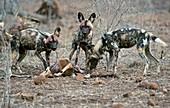 Wild Dogs Feeding on an Impala carcass